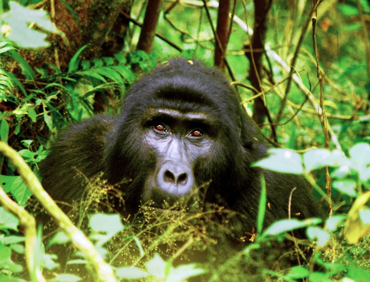 Gorilla-fave