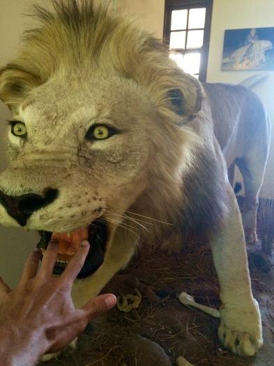 chamonix-lion
