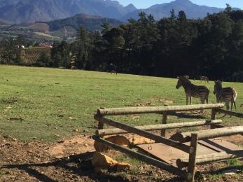 chamonix-zebras