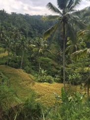 gunungkawi-ricefields