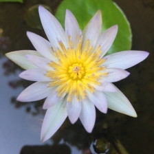 puriwaterlily